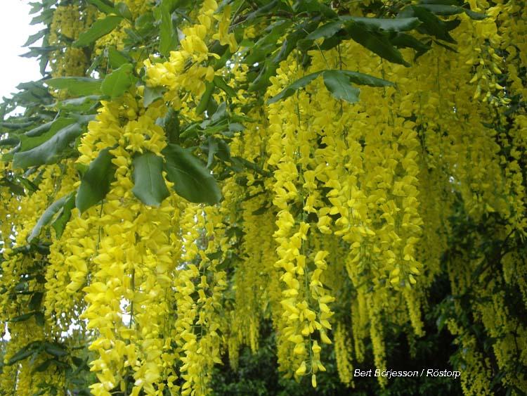 växt med stora gula blommor